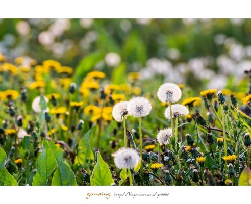 [봄풍경]민들레... 홀씨되어 | 블로그