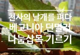 [식물집사] 현영님 나눔 베고니아 던밀러 삽목 현황