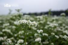 6월 제주도 여행 보롬왓 메밀꽃축제 연인과 함께 가자~!