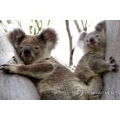 호주 상징 코알라, 성병 확산에 성병증상