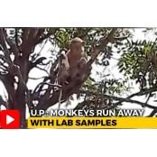 인도 원숭이, 코로나19 혈액검사 환자 혈액샘플 강탈…물어뜯기도 혈액검사