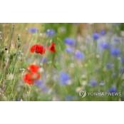 푸른 수레국화 사이에 핀 붉은 꽃양귀비