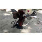닭싸움(사봉) 한 판에 2억 베팅하는 필리핀