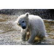 물기 털어내는 새끼 북극곰