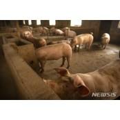 아프리카돼지열병 때문에 베트남 돼지고기 수입 아프리카 300% 급증