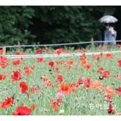 꽃양귀비 만개