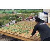 해마다 되풀이되는 섬지역 양귀비 재배…주민 잇따라 적발 양귀비