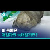 [비디오머그] QUIZ. 이 동물은 개일까요 늑대비디오 늑대일까요?…