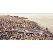 몸길이 최대 7m…중국 7m 최대 담수어 멸종 7m 확인