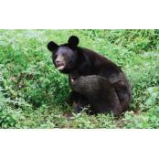 [초점ㅣ지리산 반달곰 포화 예상지 상태] 올 봄에는 예상지 반달곰 몇 마리 예상지 태어날까?