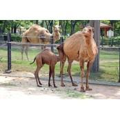 서울대공원 낙타탄생…이름은