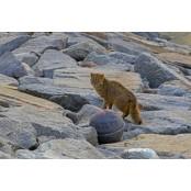 """멸종위기 동물 삵 야행성 동물 종류 발견 """"생긴건 고양이, 야행성 동물 종류 사실은 먹이사슬 최강자"""" 야행성 동물 종류"""