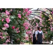 장미꽃 활짝 핀 서울대공원 서울대공원