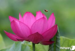 홍련꽃으로 날아든 꿀
