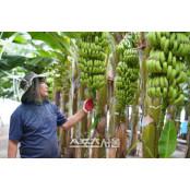 해남군, 기후변화 대응 열매 바나나 열매 육성 열매 '성과'