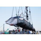 日, 31년 만에 상업포경 재개...12월까지 225마리 포획 야마구치리쿠