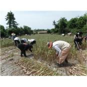 파라다이스 카지노 제주지점, 마늘 수확 일손돕기