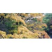 제주 자생식물 단풍나무 등 7종 염색효과 우수 블랙잭블랙잭