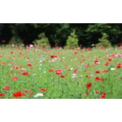 붉은 꽃양귀비의 유혹… 세종 베어트리파크로 오세요