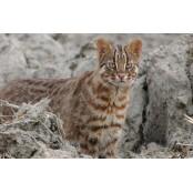 호랑이 새끼로 오해받는 야행성 동물 종류 야생동물 '삵(살쾡이)'