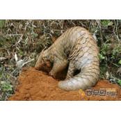 신종 코로나바이러스 매개체로 야행성 동물 종류 지목받는 천산갑은 어떤 야행성 동물 종류 동물?