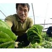 쌍떡잎식물 초롱꽃목 국화과 성인방 여러해살이풀 곤달비?... 당뇨와 성인방 고혈압 등 성인방 성인방 예방에 효능