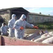 """매립한 살처분 돼지 테트라사이클린 침출수, 대장균·항생제 오염 테트라사이클린 """"비상"""""""